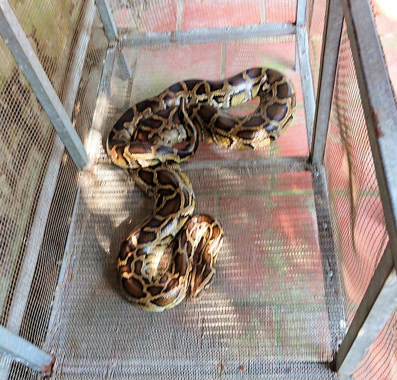 メコン川クルーズの島で蛇の首巻を体験用の大蛇