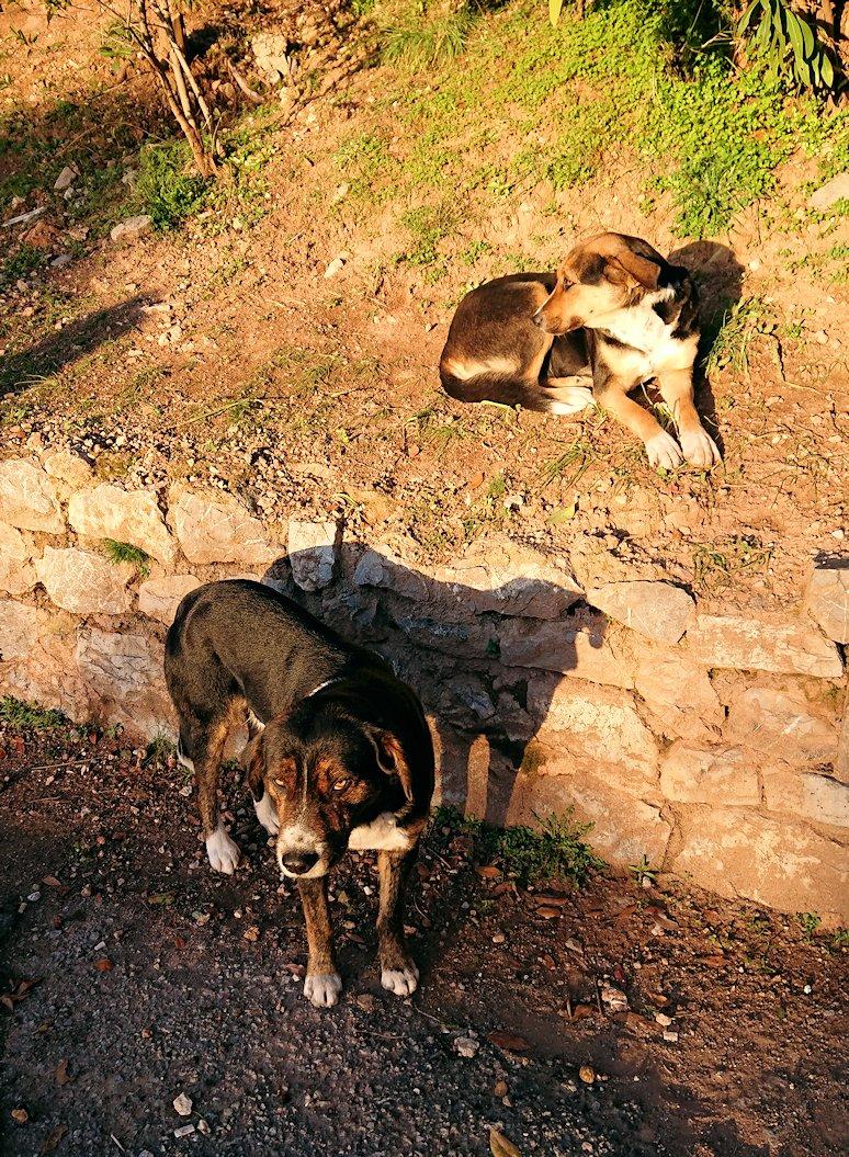 デルフィ遺跡前に居座っているイヌたち2