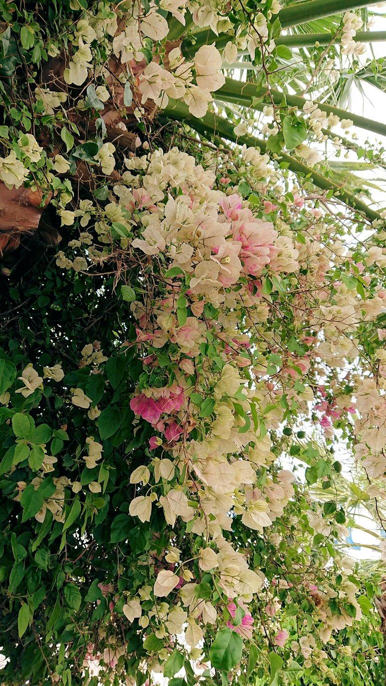 チュニジア・エルジェムにあるHotel club ksar Eljemの周りを散策して見つけた花2