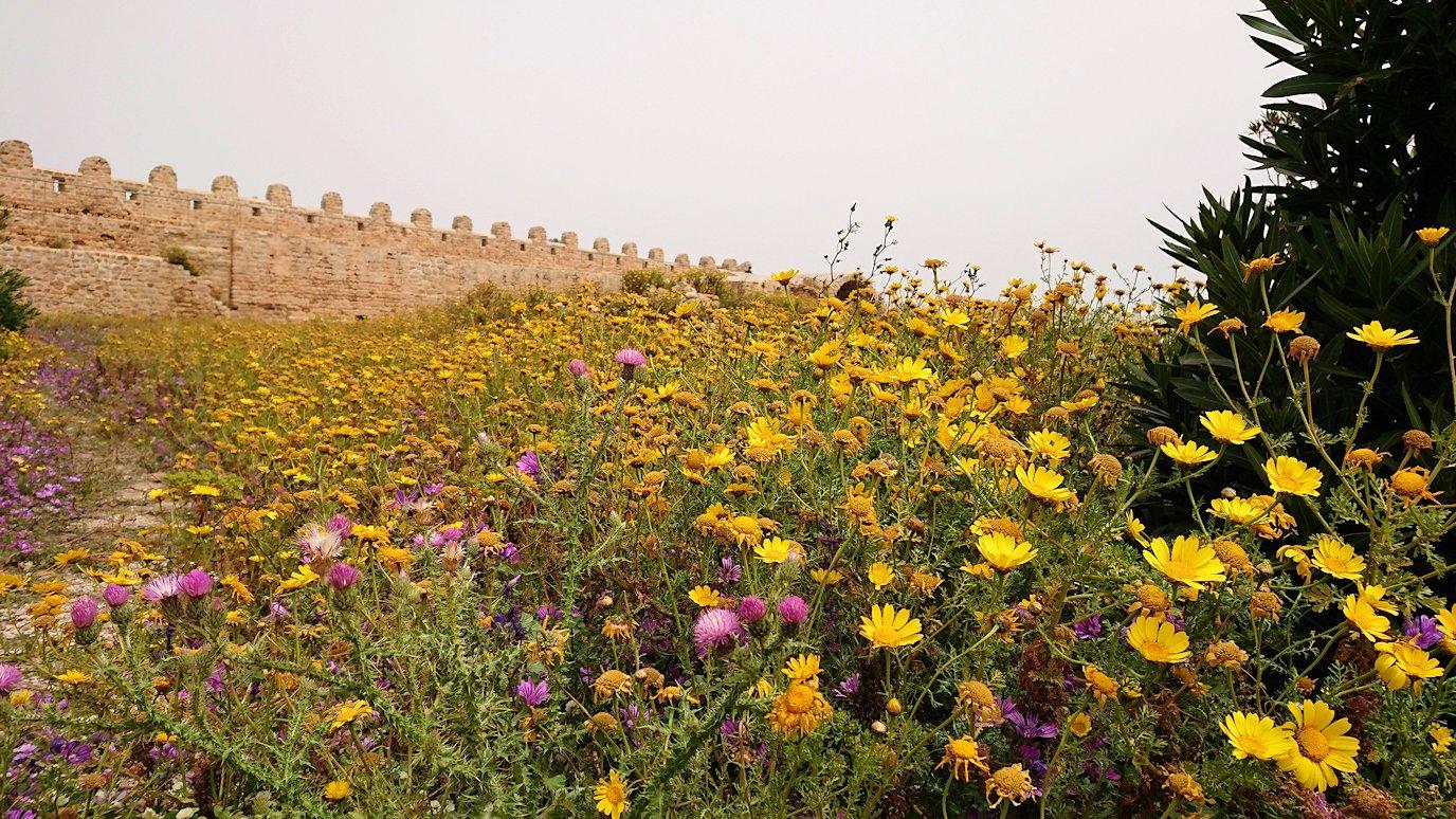 チュニジア:ケリビアの城塞跡内で咲き誇るのは?1