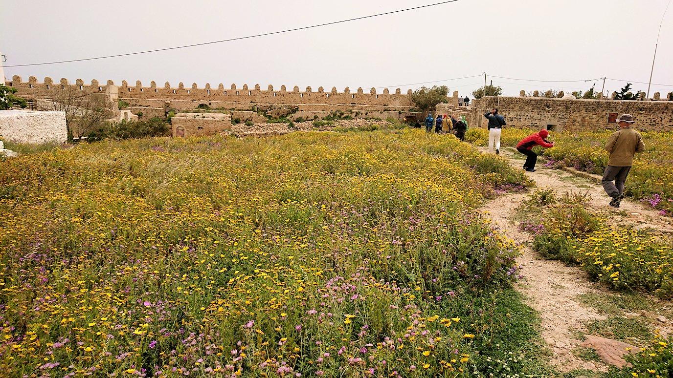 チュニジア:ケリビアの城塞跡内で咲き誇るのは?7