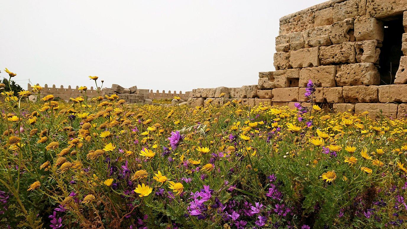 チュニジア:ケリビアの城塞跡内で咲き誇るのは?8