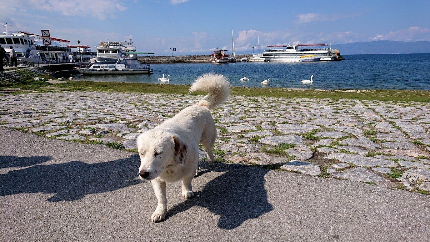 北マケドニアのオフリド湖遊覧終了しオフリドの街の港にて犬と戯れる8