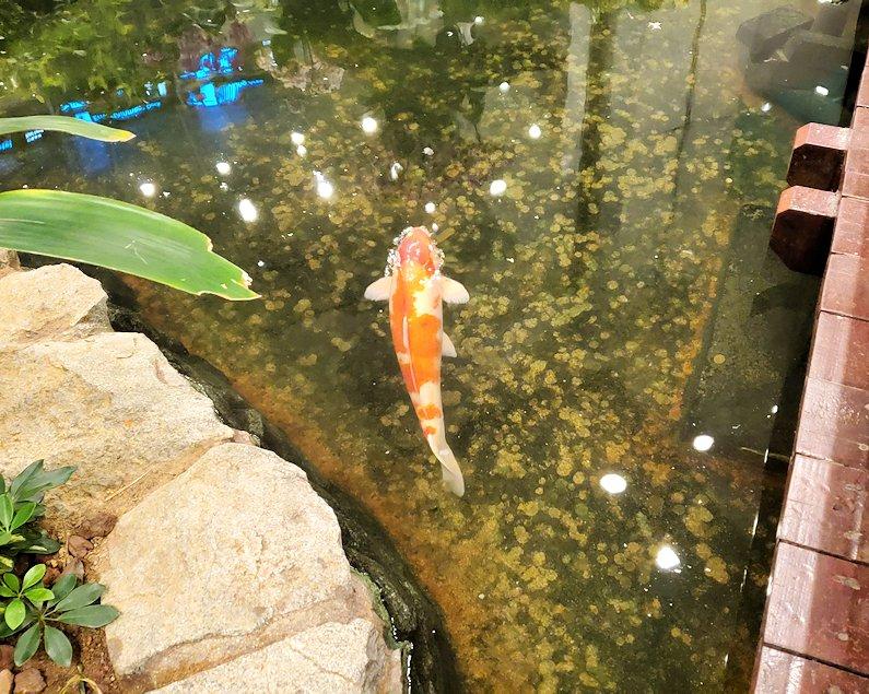 シンガポール航空機で到着した、シンガポールのチャンギ空港内の池で泳ぐ鯉