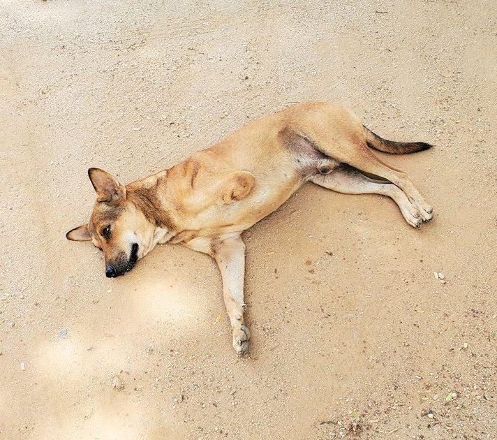 アヌラーダプラまで移動する途中に訪れた休憩所に居た、三本足のワンちゃん