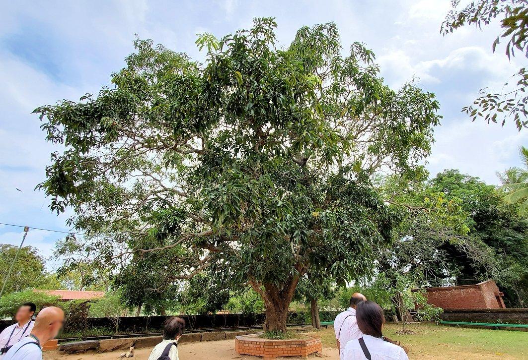 アヌラーダプラのイスルムニヤ精舎周辺に植えられている菩提樹