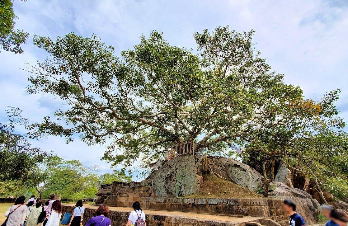 イスルムニヤ精舎敷地内にある、大きな菩提樹-2