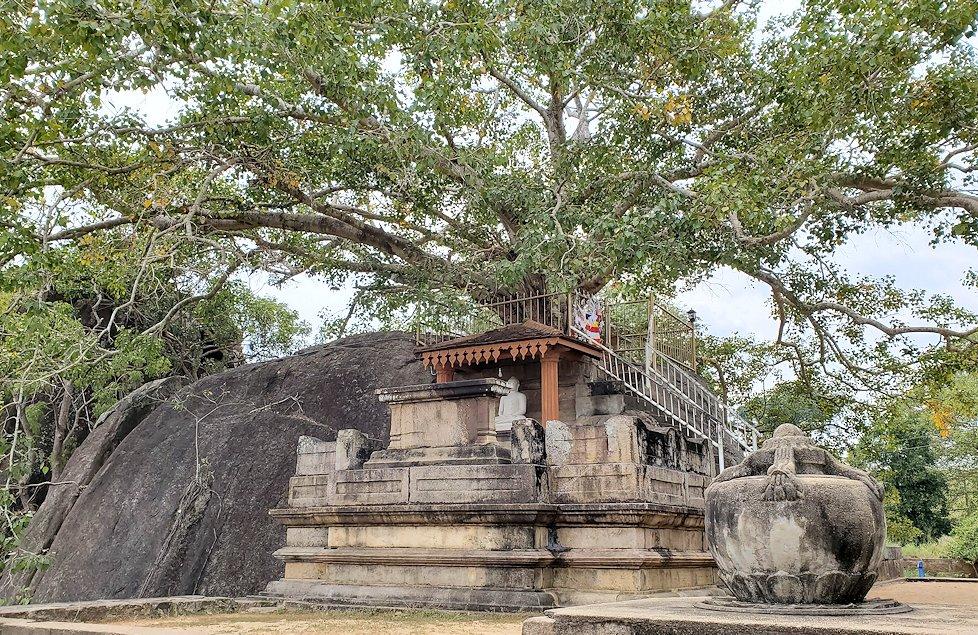 イスルムニヤ精舎敷地内にある、大きな菩提樹