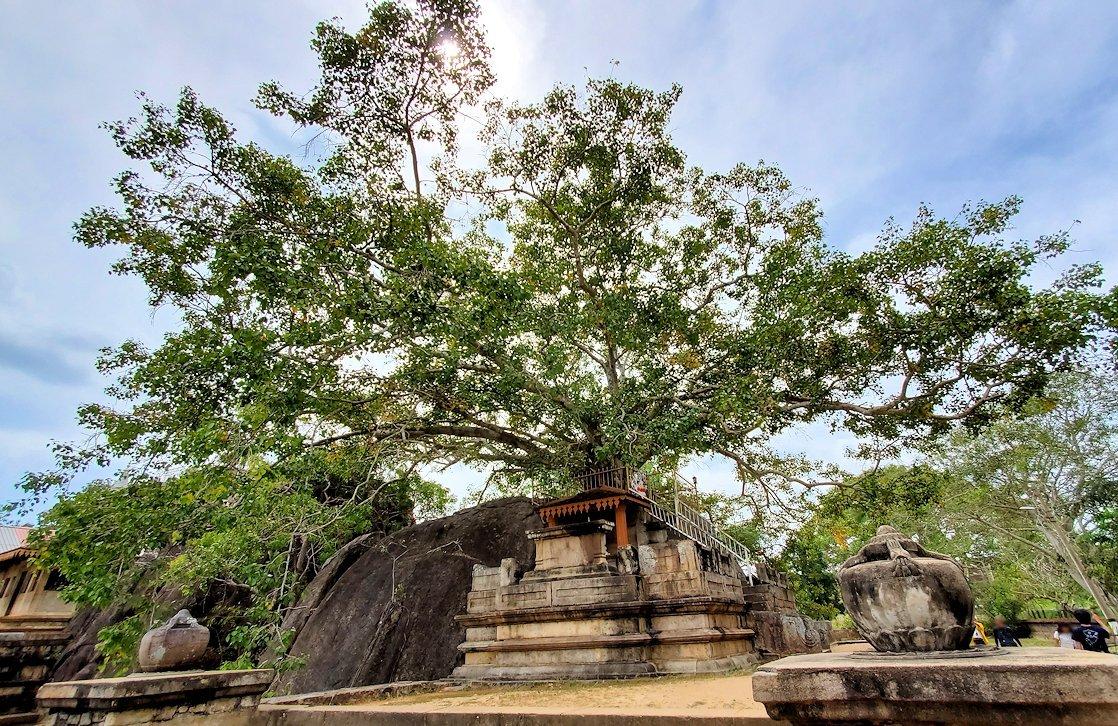 イスルムニヤ精舎敷地内にある、大きな菩提樹-3