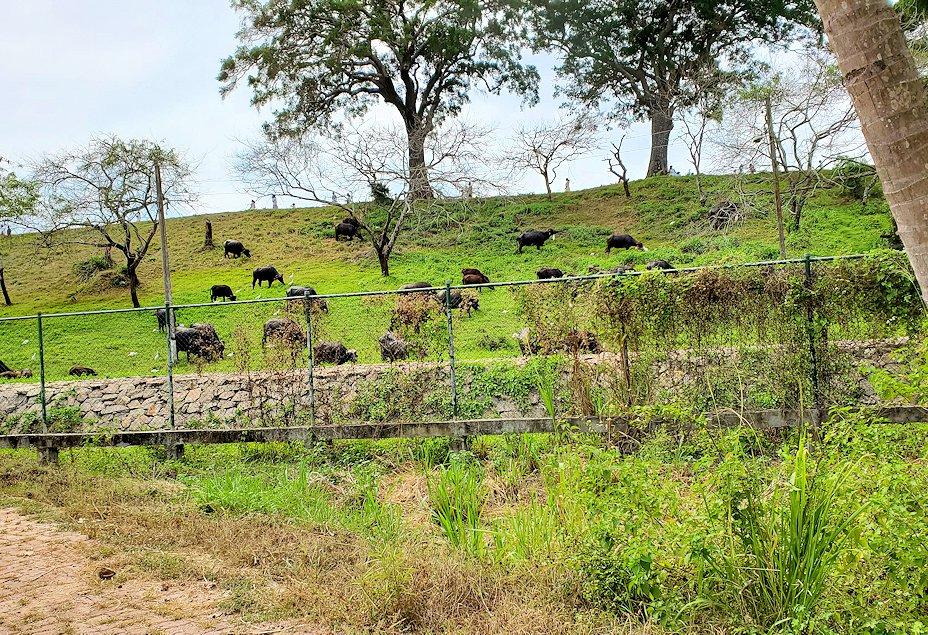 イスルムニヤ精舎駐車場横にいた水牛たち