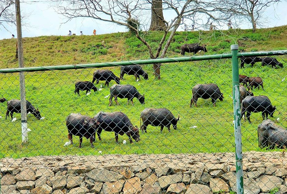 イスルムニヤ精舎駐車場横にいた水牛たち-2