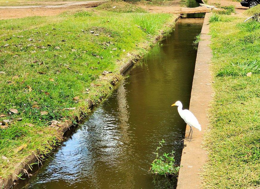 アヌラーダプラにあるスリー・マハー菩提樹が祀られる場所の敷地にある用水路脇に立つ白い鳥