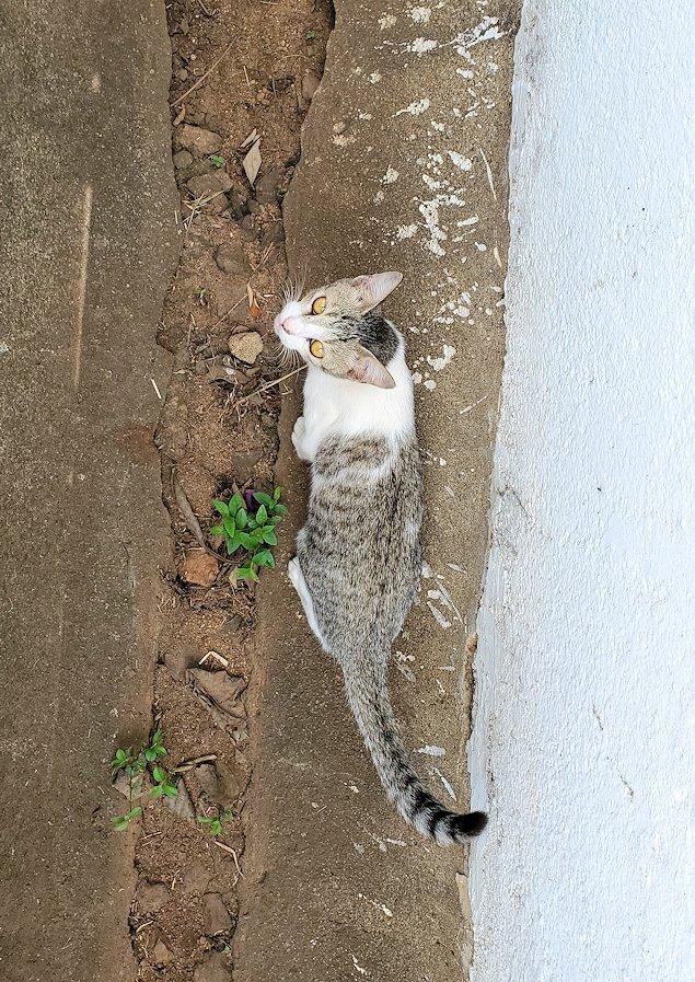 アヌラーダプラにあるスリー・マハー菩提樹が祀られる敷地内に居た猫ちゃん