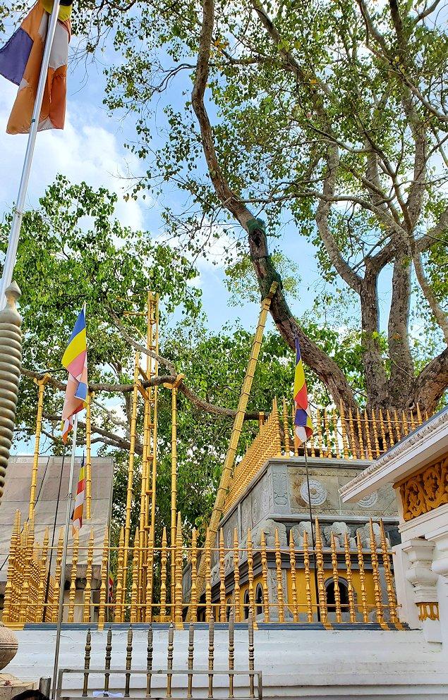 祀られているスリー・マハー菩提樹は、このように支えだらけ-2