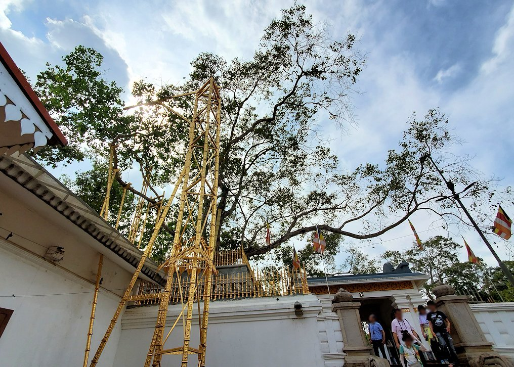 祀られているスリー・マハー菩提樹を見上げる