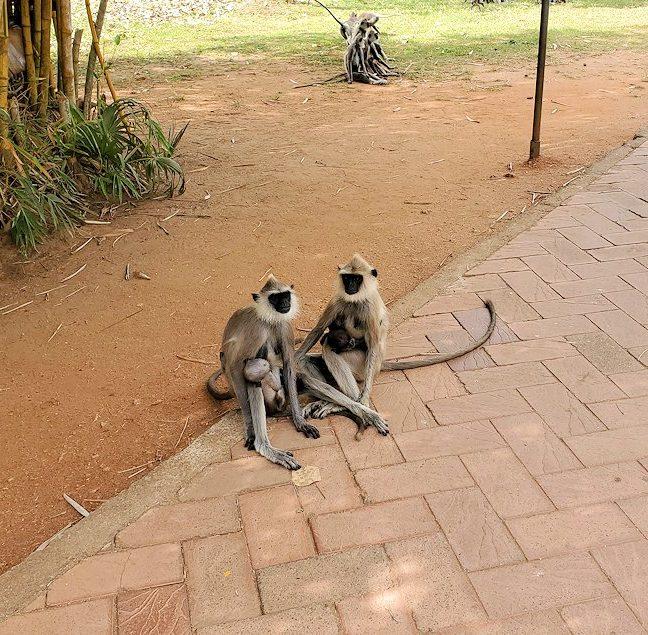 アヌラーダプラでルワンウェリ・サーヤ大塔に続く道にいっぱいいるお猿さん