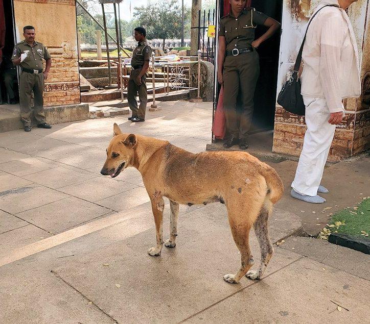 ルワンウェリ・サーヤ大塔周辺に居た野良犬