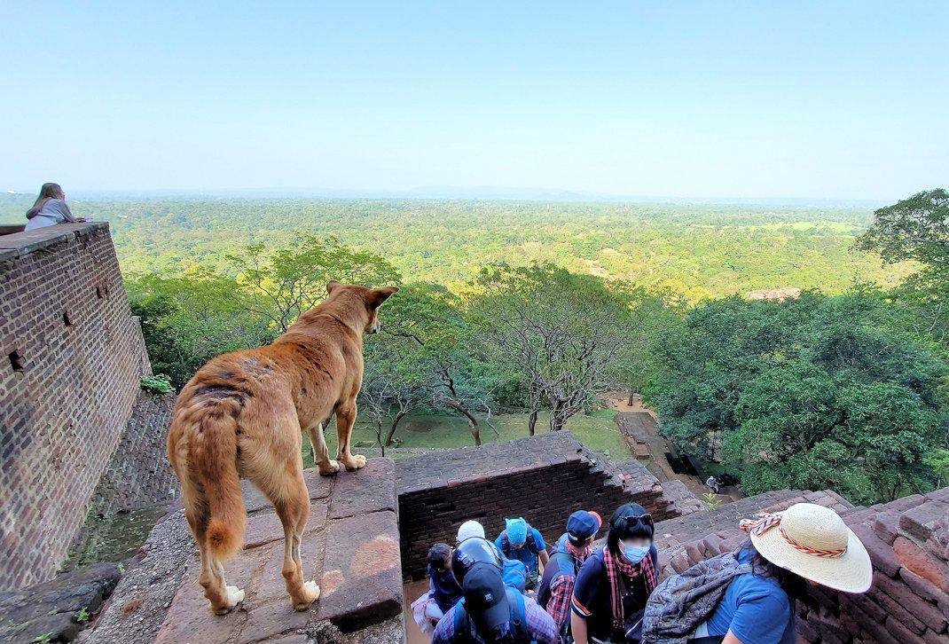 シギリヤロックの頂上に向かう途中にいたワンちゃんが眺める景色