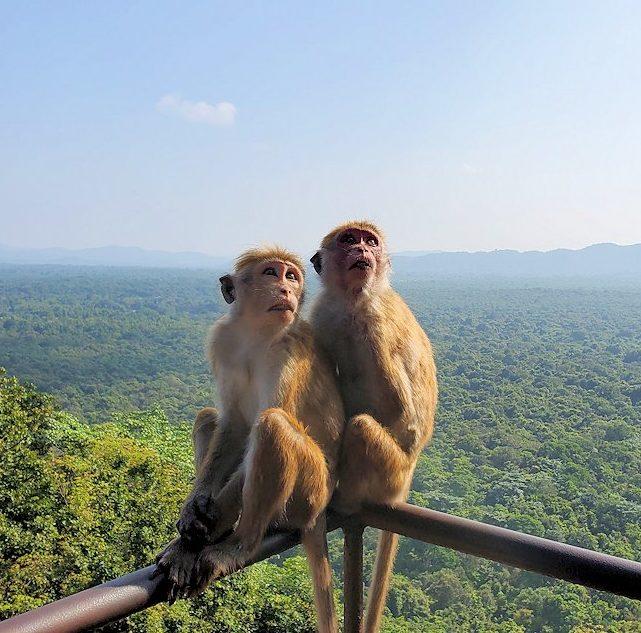 シギリヤロックの頂上へと繋がる階段を登る人達を眺めるお猿さん
