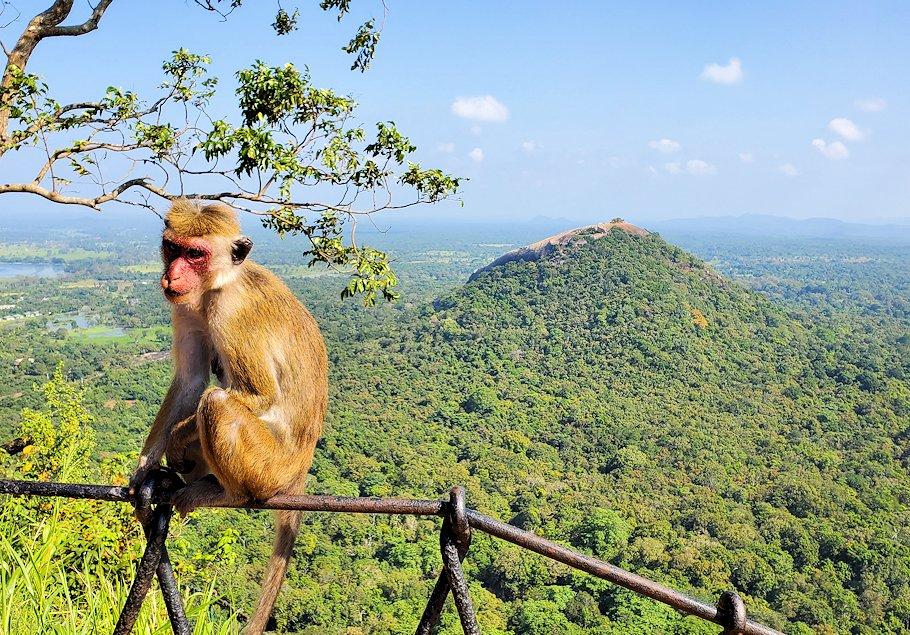 シギリヤロック頂上付近の柵に座っていたお猿さん