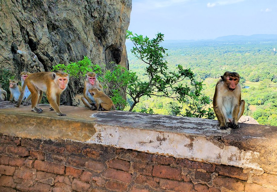 シギリヤロック頂上から戻ってきたライオンの入口周辺にいたお猿さん達