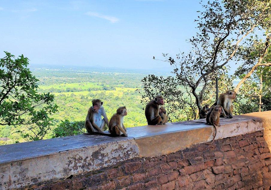 シギリヤロック頂上から戻ってきたライオンの入口周辺にいたお猿さん達-2