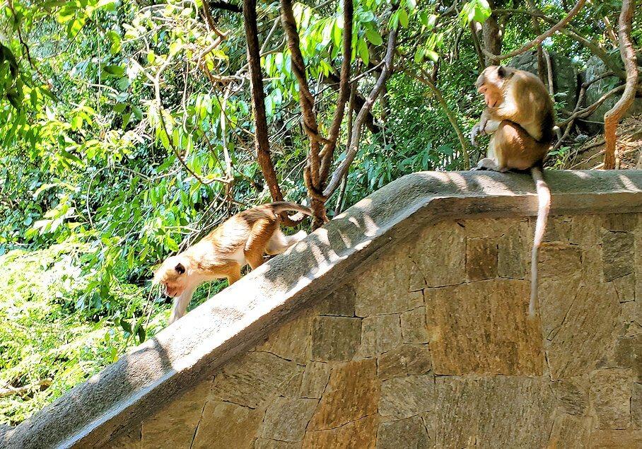 ダンブッラ寺院の見学を終えて、坂を降りて行く途中に居たお猿さん