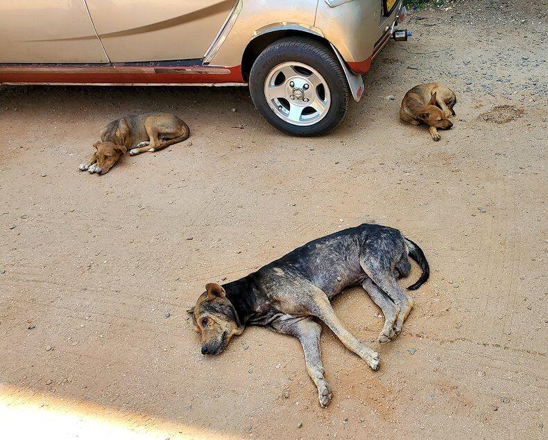 ダンブッラ寺院の見学を終えて、下にあった寺院広場にある出口の看板付近に寝っ転がるワンちゃん達