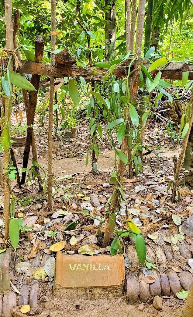 「Luck Grove Spice Garden」というスパイス屋さんに生えているバニラの木