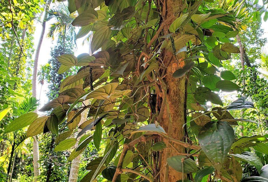 「Luck Grove Spice Garden」というスパイス屋さんに生えている木を眺める