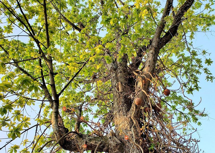 早朝の朝日が昇る様子を見つつ、仏歯寺へと進んで行く途中にあった木