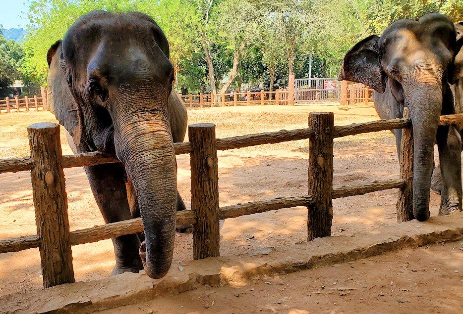 ピンナワラの「ゾウの孤児院」で、間直に見えるゾウさん-2