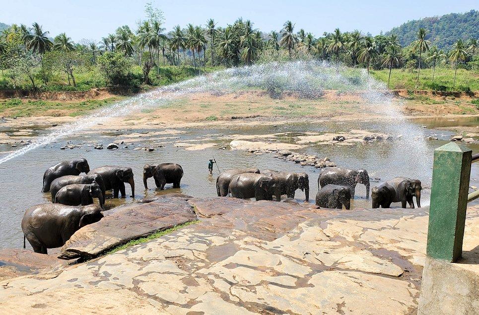 ピンナワラの街にある川沿いで水浴びする、孤児院のゾウさん達-2