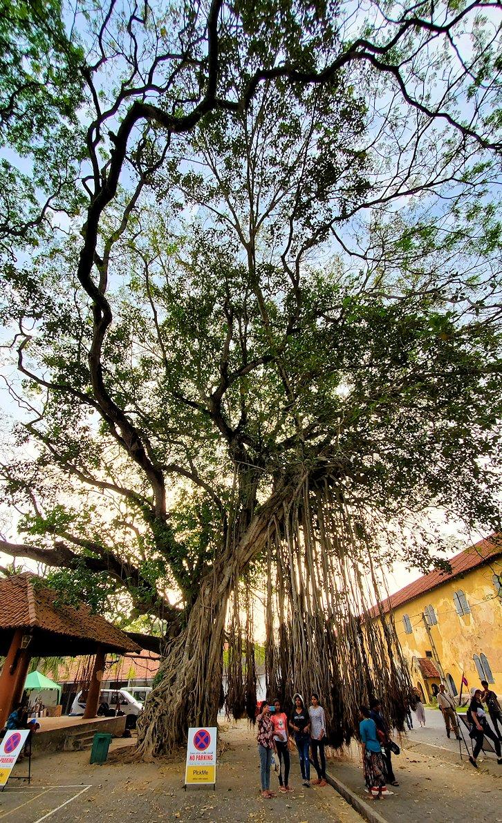 ゴールの旧市街地で見られた、広場に生えるガジュマルの木-3