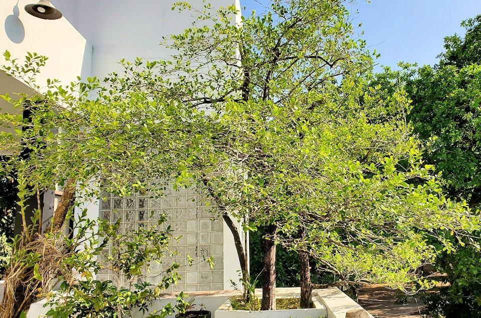 コロンボ市内にあるジェフリー・バワの自宅跡のベランダに植えられている木