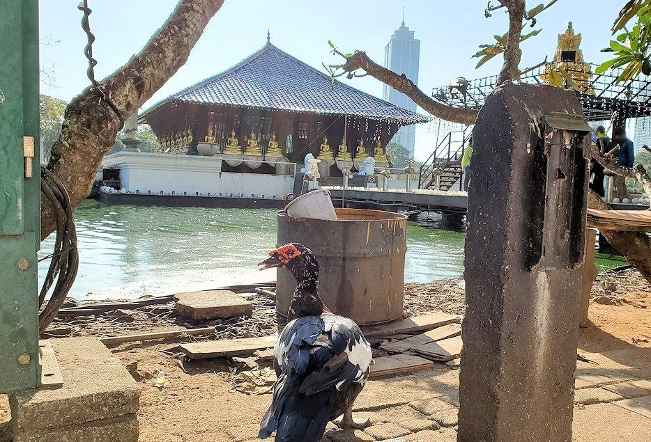 シーマ・マラカヤ寺院周辺にいた、珍しい外観をした鳥「野バリカン」-2