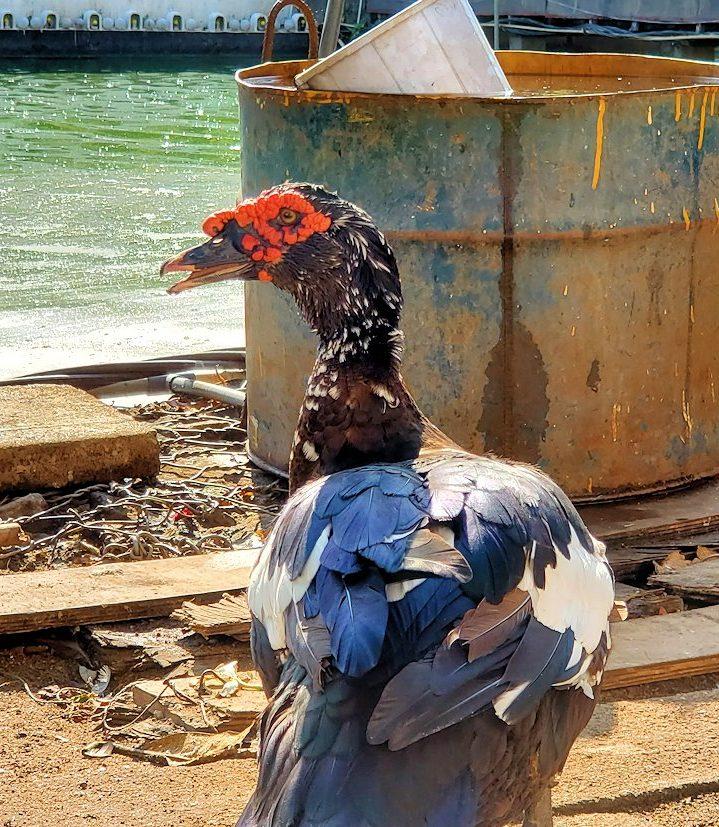 シーマ・マラカヤ寺院周辺にいた、珍しい外観をした鳥「野バリカン」-3