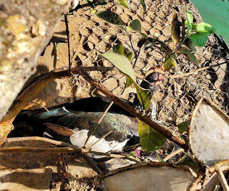 シーマ・マラカヤ寺院周辺に生息する、のバリケンという鳥