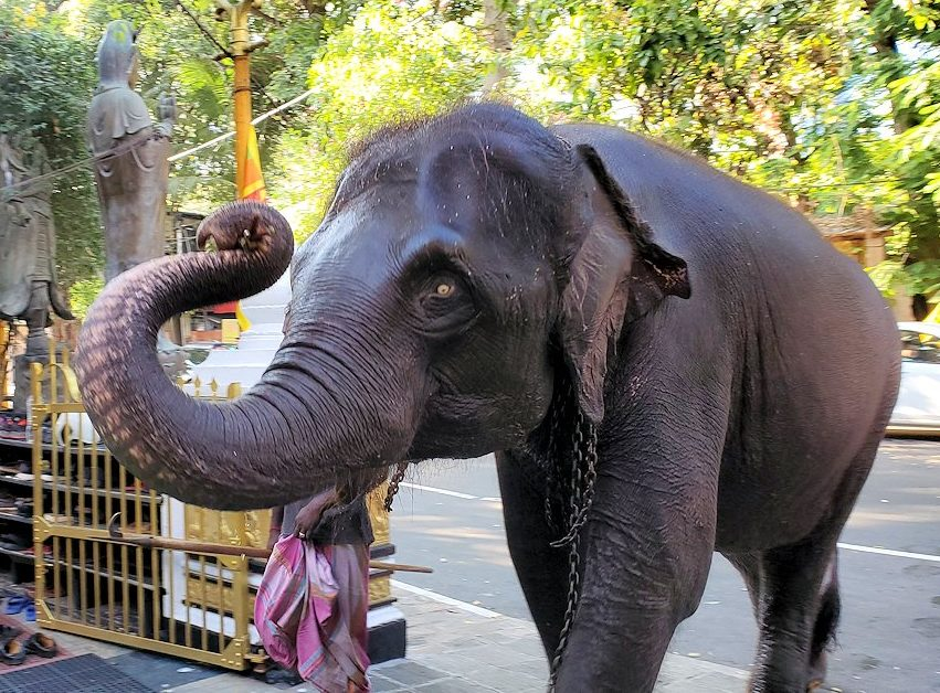 ガンガラーマ寺院で飼っているゾウが歩いて来て、目の前を通る