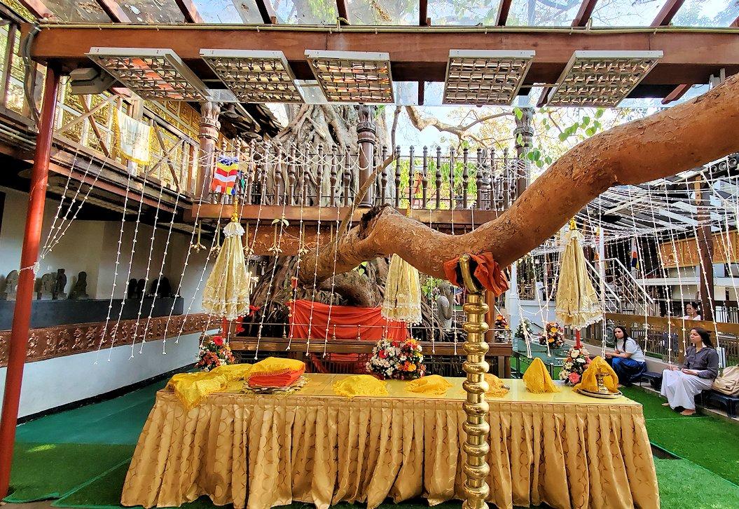 ガンガラーマ寺院敷地内にあるスリーマハー菩提樹の挿し木