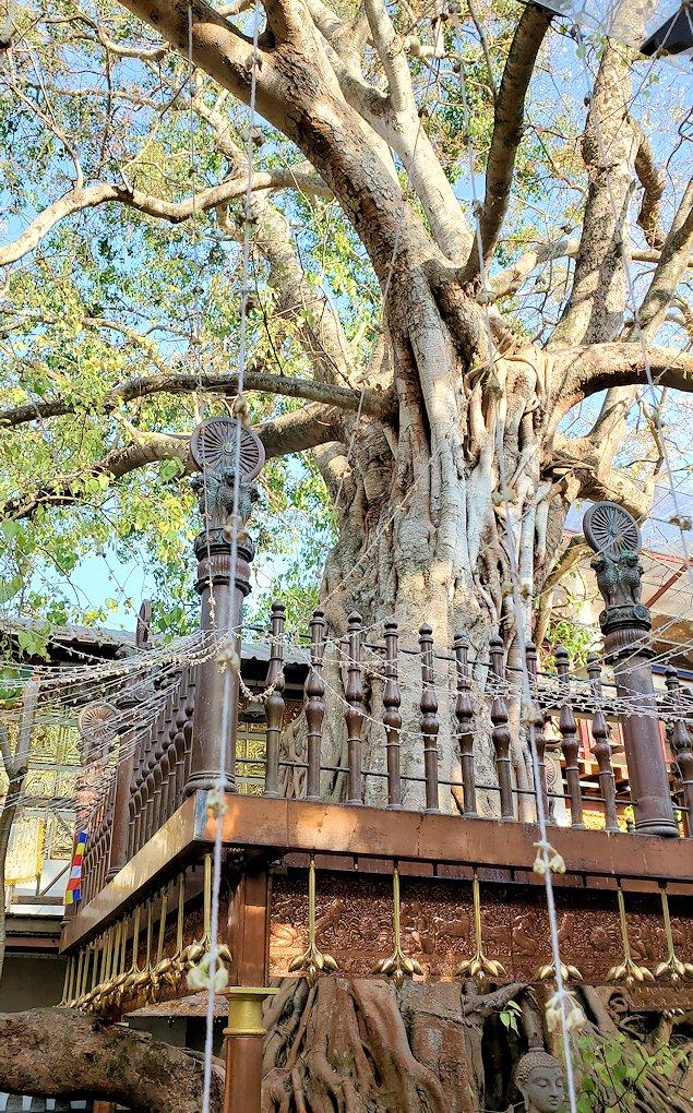 ガンガラーマ寺院敷地内にあるスリーマハー菩提樹の挿し木-2
