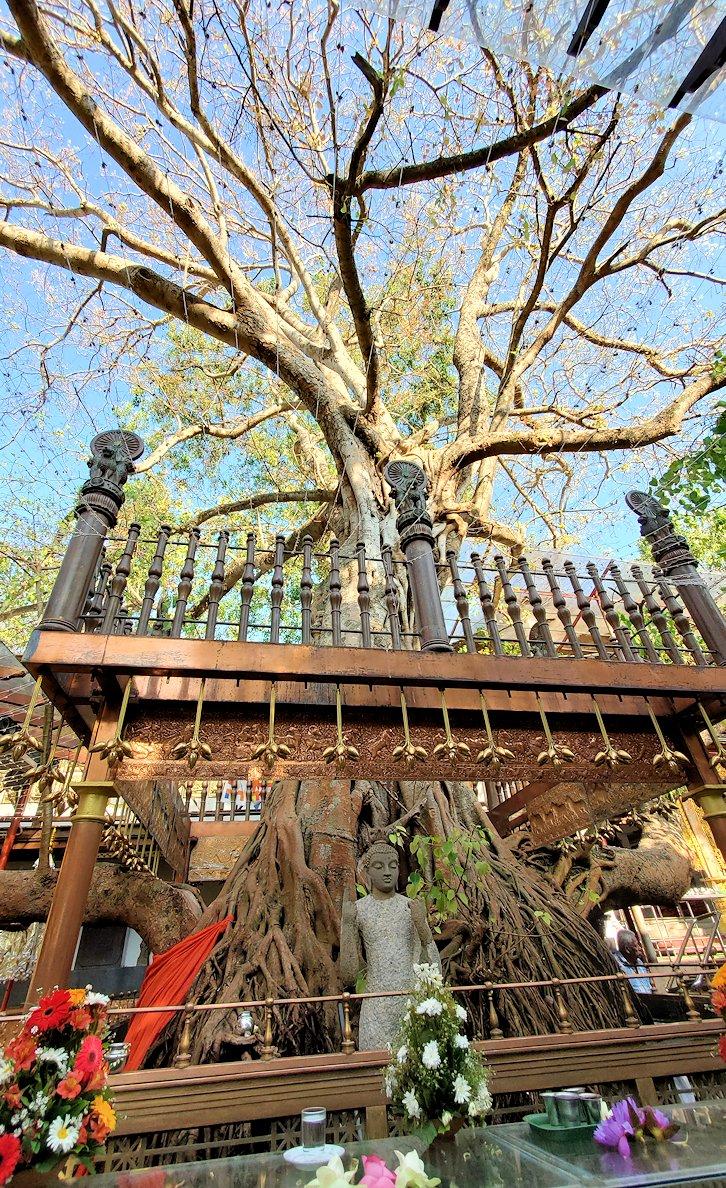 ガンガラーマ寺院敷地内にあるスリーマハー菩提樹の挿し木-3