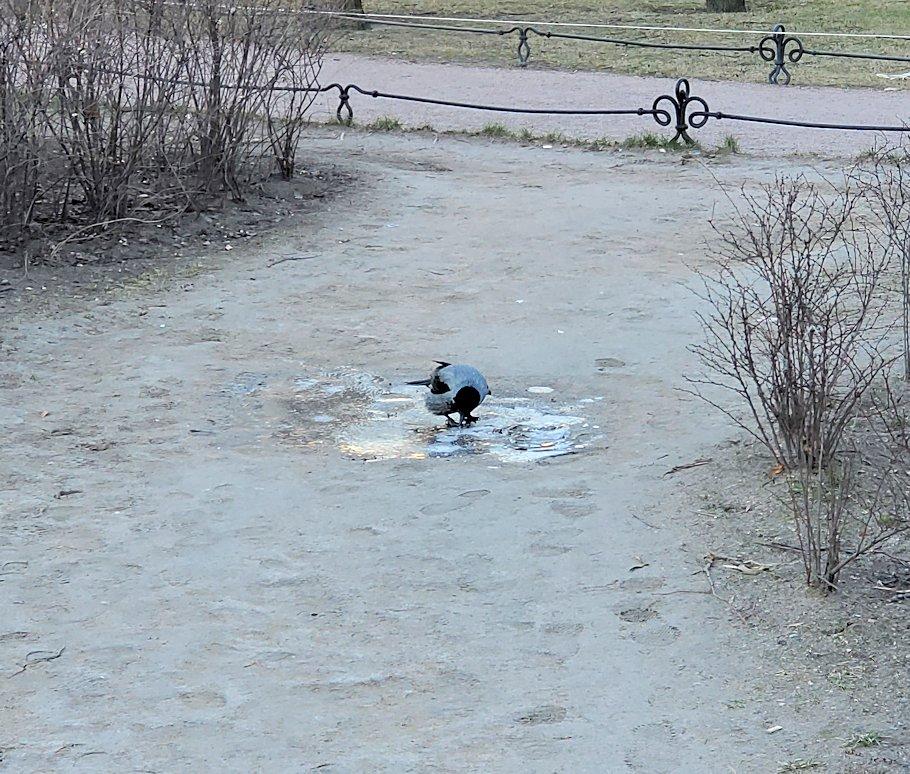 元老院広場の凍った水溜りを突くハト
